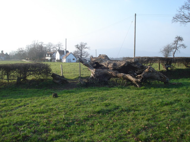 Fallen tree at Blackmore End