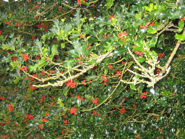 Holly & berries in Rosedale near White House