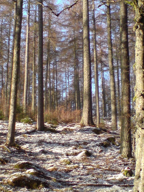 Larches above Dunkeld