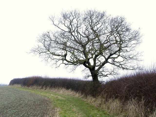 A Roe Hill Tree