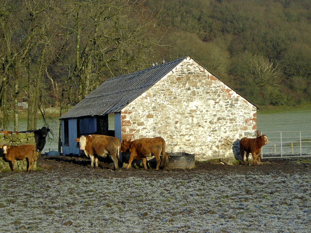 Cattle at Knockshinnoch