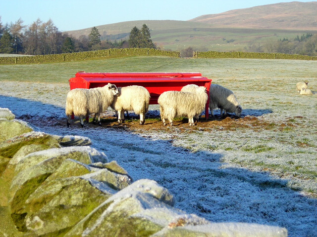 Sheep Feeding Near Killylour Filter Station