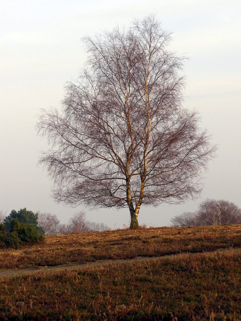 Silver birch tree, Acres Down, New Forest