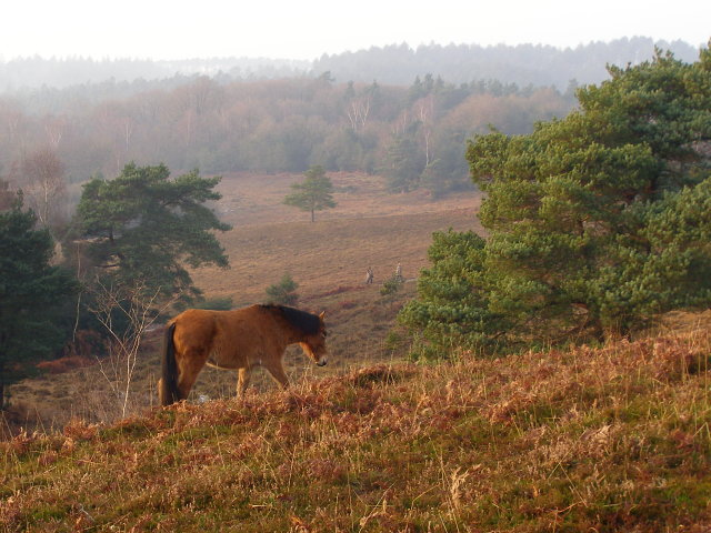 Pony on the move, Acres Down, New Forest