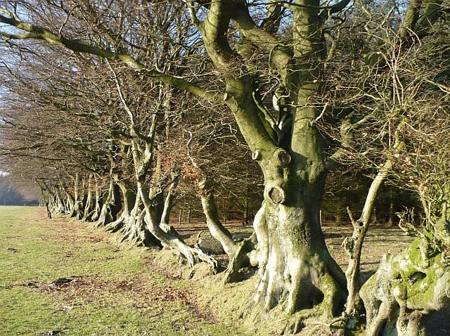 Beech trees, Manmoel