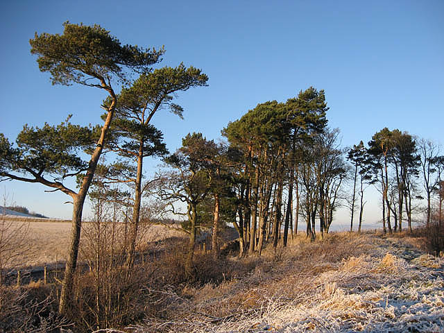 Scots Pines at Bowdenmoor Reservoir