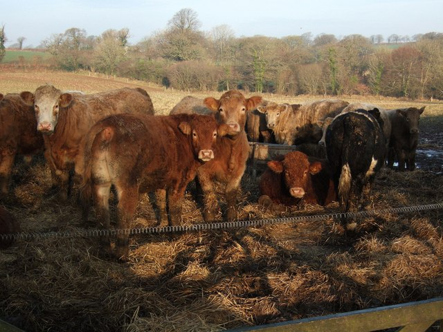 Cattle near Coombshead