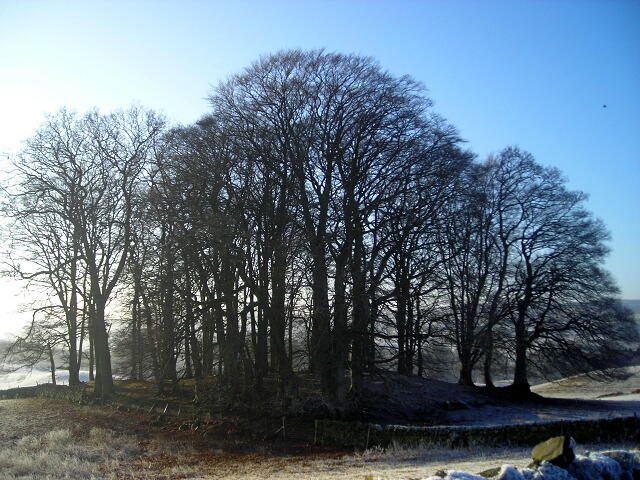 Stand of Trees Near Dunscore