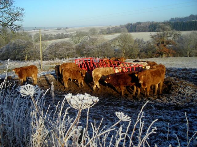 Cattle Feeding in Frosty Field