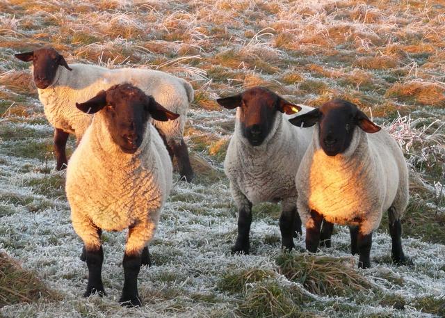 Suffolk lambs at Tarrel, Tarbat Peninsula