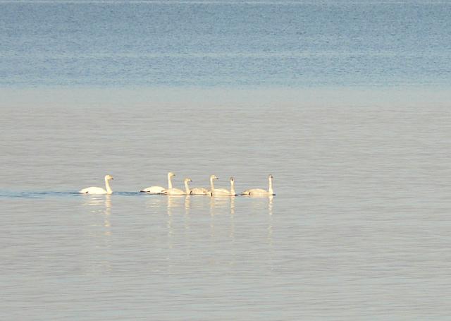Whooper Swan family, Portmahomack