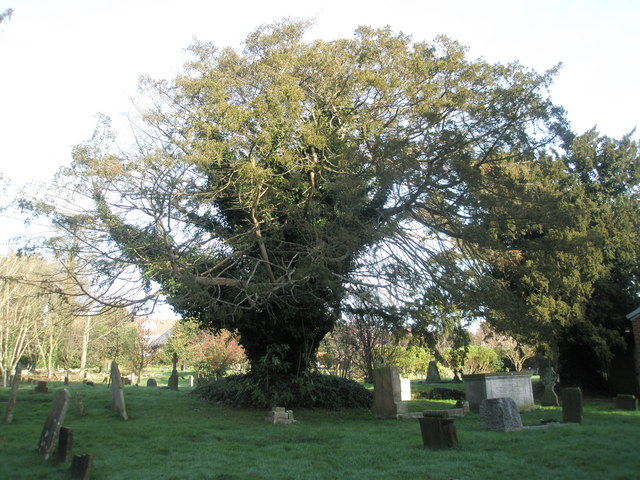 Lovely old tree in St Andrew's Churchyard