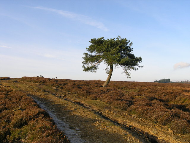 Isolated pine tree on Witton Fell