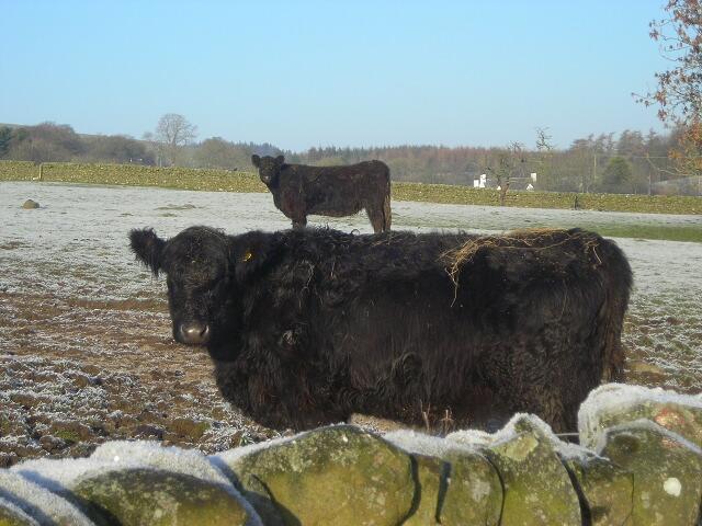 Cattle Near Barnsoul
