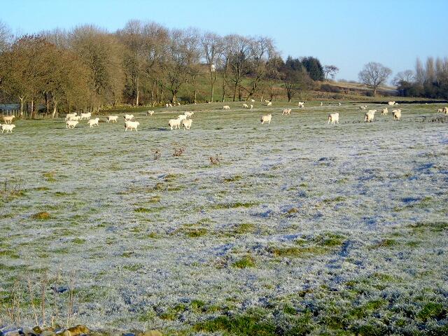 Field of Sheep Near Threepneuk