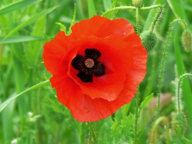 A poppy flower in June, near Savernake