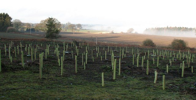 New plantation, Nutwith Common