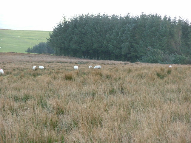 Sheep grazing near forestry
