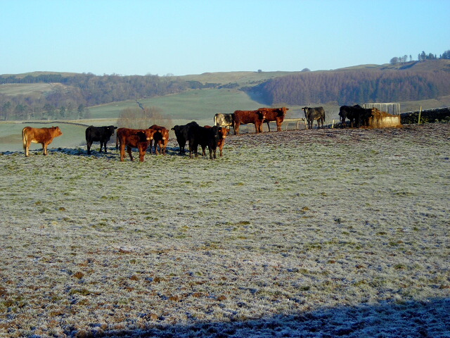 Wary Cattle Near Barnshalloch Bridge