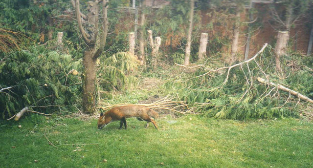 Fox in our garden