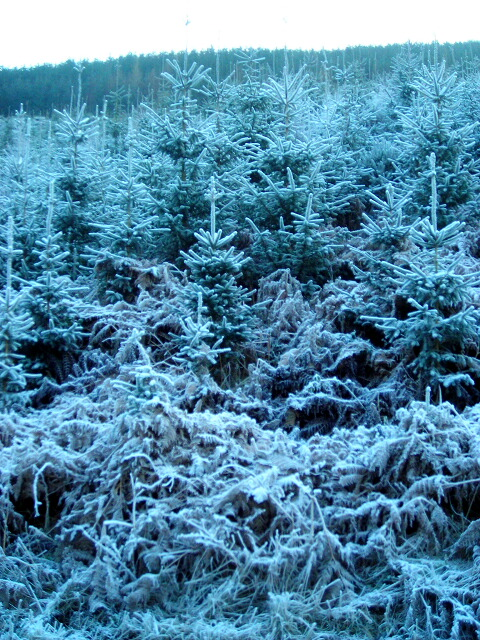 Frost Covered Conifers in White Hill Wood