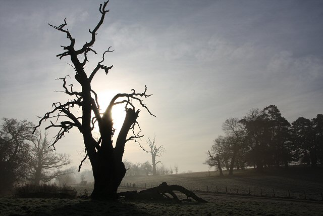 Silhouetted tree in Ickworth Park