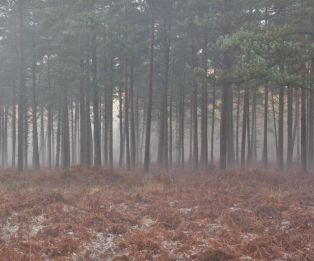 Conifers in Sloden Inclosure, New Forest