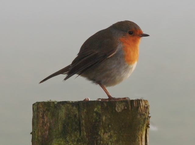 Robin in the mist