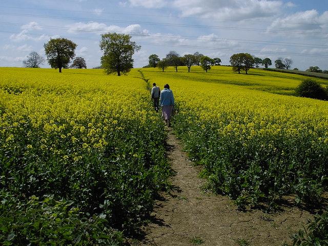 Glapwell - oilseed on footpath to Ault Hucknall