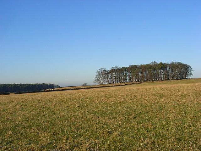 Pasture and copse, Newbiggin