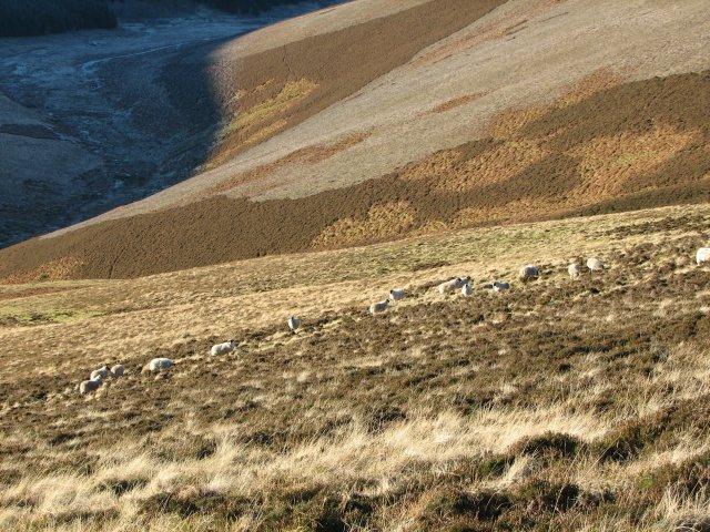 Sheep, Easton Hope