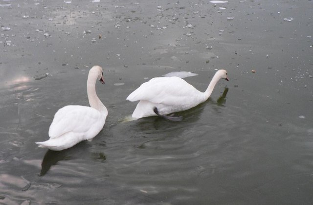 Littledown: swans on ice