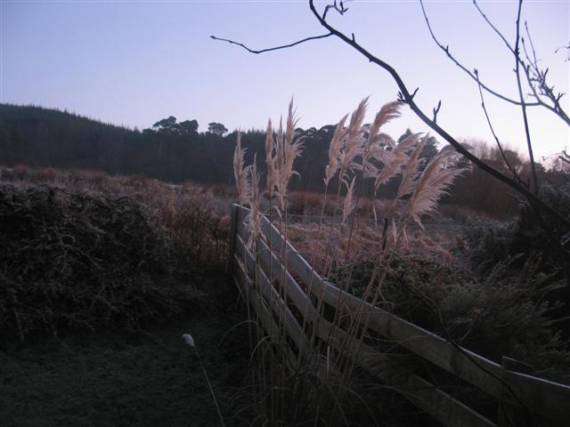 Winter pampas grass