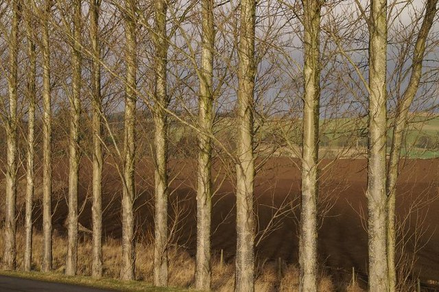 Poplars at Rattray