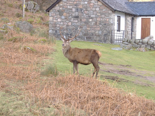 Deer in the village of at Camasnacroise
