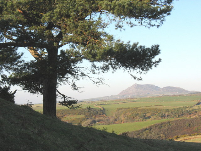 A conifer tree on the Pen-y-gaer ridge