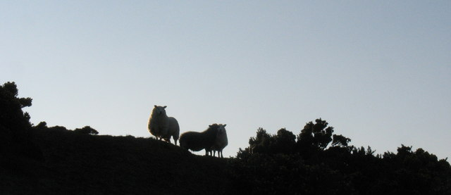 The rearguard of a retreating flock of sheep on the summit of Pen-y-gaer