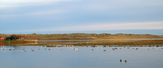Wigeon, mallard and gulls feeding on the Foveran Burn.