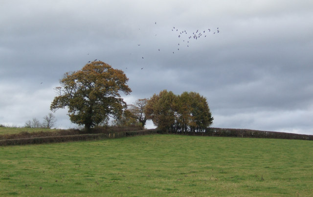 Oak trees and crows