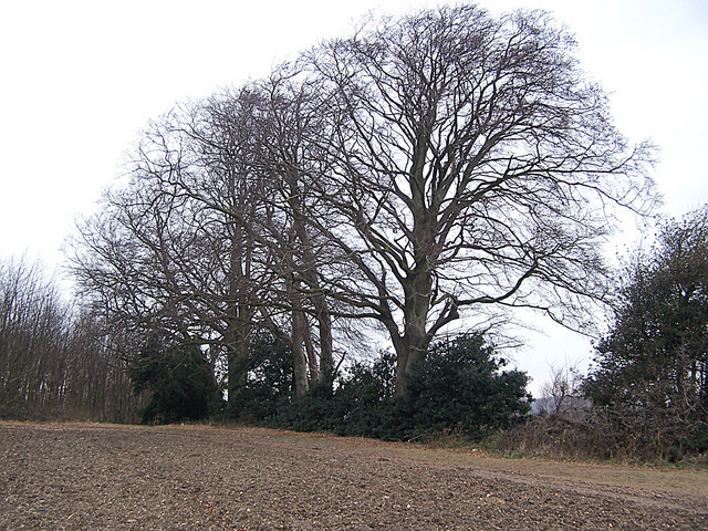 Beech and Holly