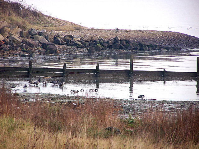 Brent Geese  on Medway shore