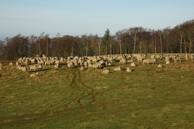 Sheep above Stanway