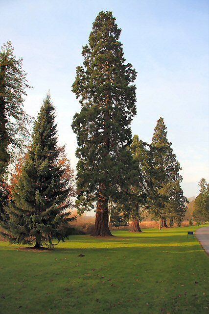 Giant redwoods at Culford School