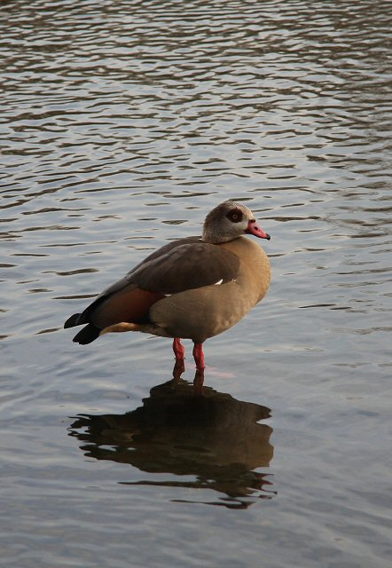 Egyptian Goose at West Stow Lake