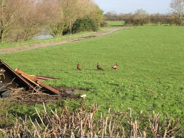 Pheasants at Offenham Park