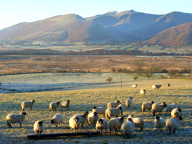 Sheep, Murrah