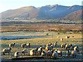 NY3731 : Sheep, Murrah by Andrew Smith