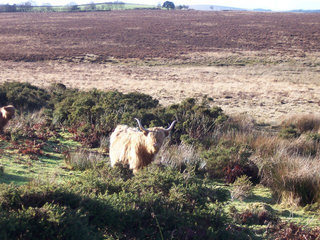 Highland Cattle on the Nature Reserve
