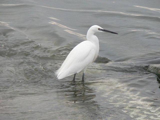 Egret at Mudeford