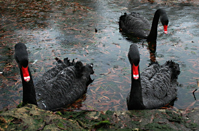 Black Swans Again